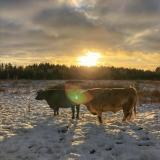 Karvių ir Jaučių Globa Lietuvoje