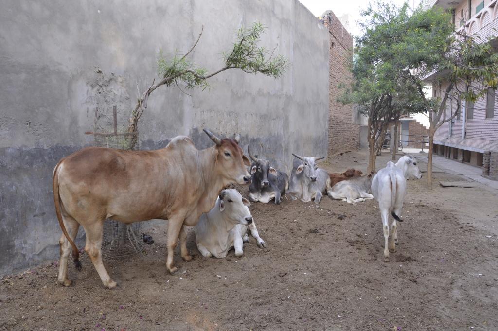 Laimingos karvutės Vrindavano mieste (Indijoje) prižiūrimos iki jų natūralios mirties